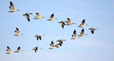 На Буковину вже повертаються перелітні птахи