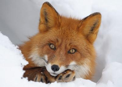Лисиці оселилися в Чернівцях: рудохвостих бачили на Роші, Гарячому Урбані та в Садгорі