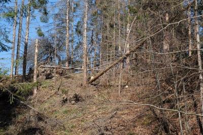 Лісники показали дерева, через які змушені були знищити водоспад на Буковині (ФОТО)