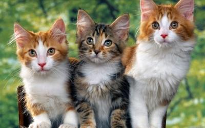 Україна у десятці країн-шанувальниць котів