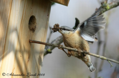 На Буковині є птах, який ходить по дереву згори донизу