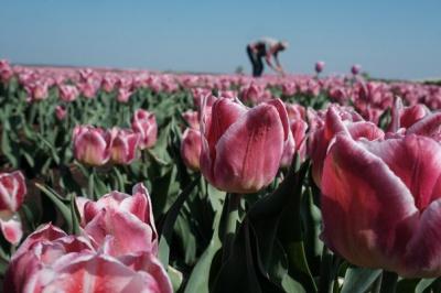 У мережі з'явилося відео тюльпанового поля на Буковині з висоти пташиного польоту