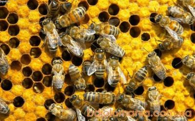 Понад 400 бджолиних сімей загинули на Буковині через кроплення садів