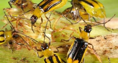 На посіви кукурудзи в Чернівецькій області напав небезпечний жук