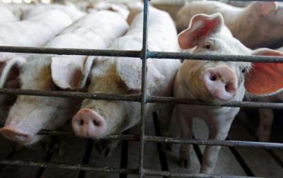 Білорусь заборонила буковинську свинину