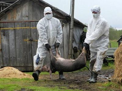 """На Буковині через спалах """"африканки"""" знищили 1555 свиней"""