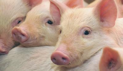 На Буковині селянам платитимуть по 20 грн за кілограм знищених свиней