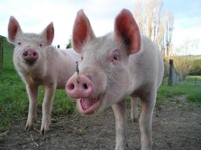 У Коломиї заборонили завіз свиней з Буковини