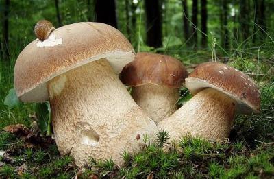 У Чернівцях білі гриби продають по 100 гривень