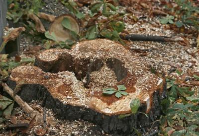 Буковина – у лідерах серед регіонів з найбільшими площами вирубки дерев у заповідниках