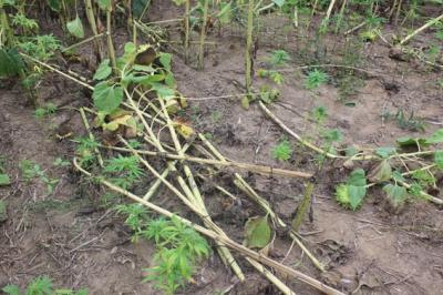 На Буковині поліція вилучила величезну плантацію коноплі (ФОТО)