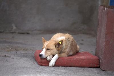 У Чернівцях шукають волонтерів для підрахунку вуличних собак
