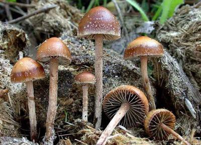 На Буковині знову отруїлися грибами