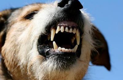 У Чернівцях карантин: хворий на сказ собака вкусив жінку