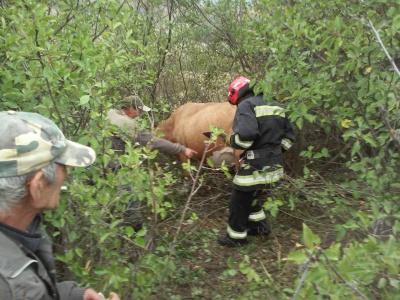 На Буковині корова провалилася у покинутий колодязь
