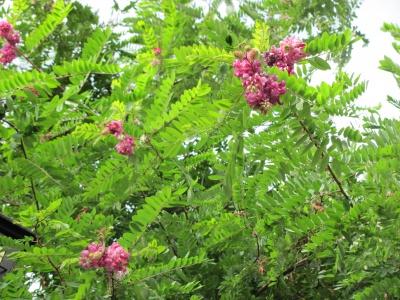У Чернівцях зацвіла рожева акація (ФОТО)