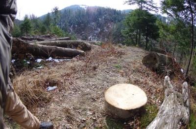 Лісівники заявляють, що на Буковині стали менше вирубувати дерев