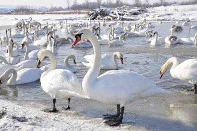 ДТП в первый день года, герои и антигерои, гибель лебедей. Главные события Буковины за прошедшие сутки