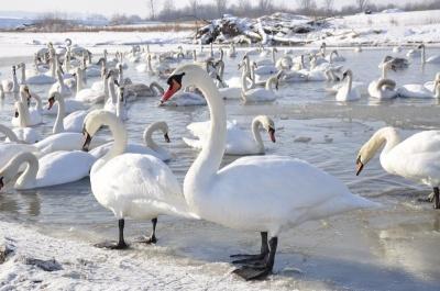 Буковинців просять не відвідувати берег Дністра через пташиний грип