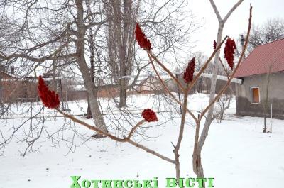 На Буковині посеред зими раптово розцвіло оцтове дерево