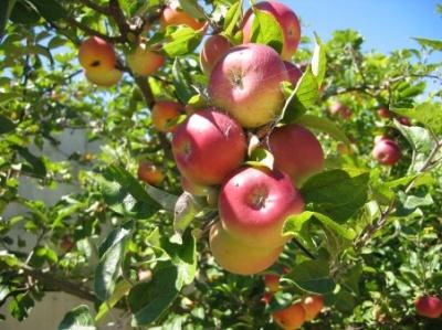 Буковина вирощує більше 8% плодів та ягід України