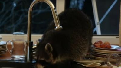 Єнот прослизнув у чужий будинок та спробував помити посуд: кумедне відео