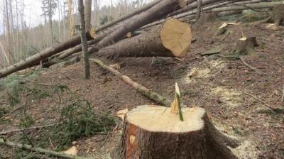 На Буковині майстер лісу допустив незаконну вирубку на 300 тисяч