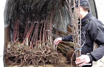 Громада на Буковині планує висадити 15 тисяч дерев (ФОТО)