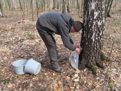 В березовых рощах на Буковине собирают сок (ФОТО)