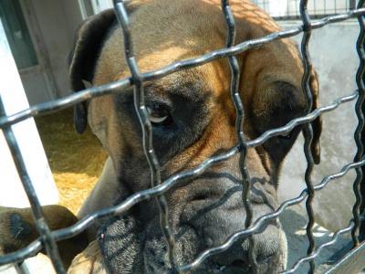 """""""Наш Бульчик - добряк"""" собака в Черновцах из зоны АТО перенес две операции и сейчас ищет хозяев"""