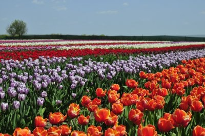 У буковинській Долині тюльпанів офіційно закрили сезон
