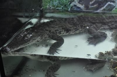 У Чернівцях можна побачити нільського крокодила та піраній (ФОТО)