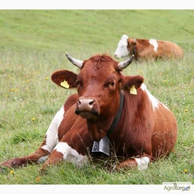 Грузини купили на Буковині худобу