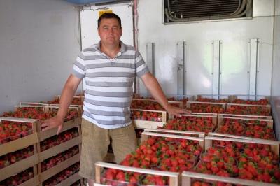 На Буковине, хоть с опозданием, но будет хороший урожай клубники