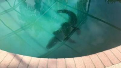 Аллигатор в США залез в частный бассейн: жуткое видео