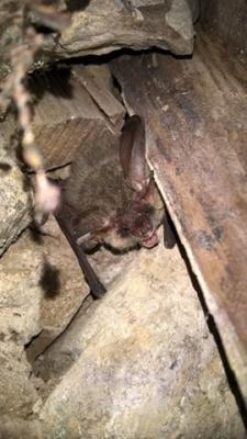 На Буковине нашли редкую летучею мышь, которую видели только пять раз за 200 лет (ФОТО)