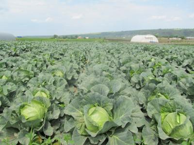 В Черновцах опять дорожают молодые овощи