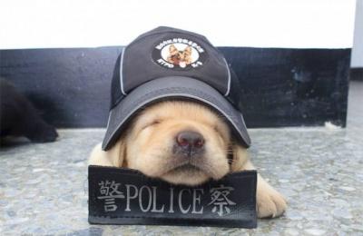 Поліція Тайваню взяла на службу крихітних лабрадорів: зворушливі фото