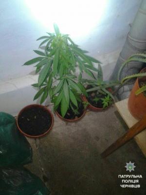 У Чернівцях бабуся поскаржилась поліції на онука, який вирощував марихуану
