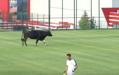 Корова сорвала матч профессиональных футбольных команд в Болгарии