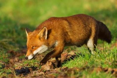 В селе на Буковине лисы крадут кур даже днем