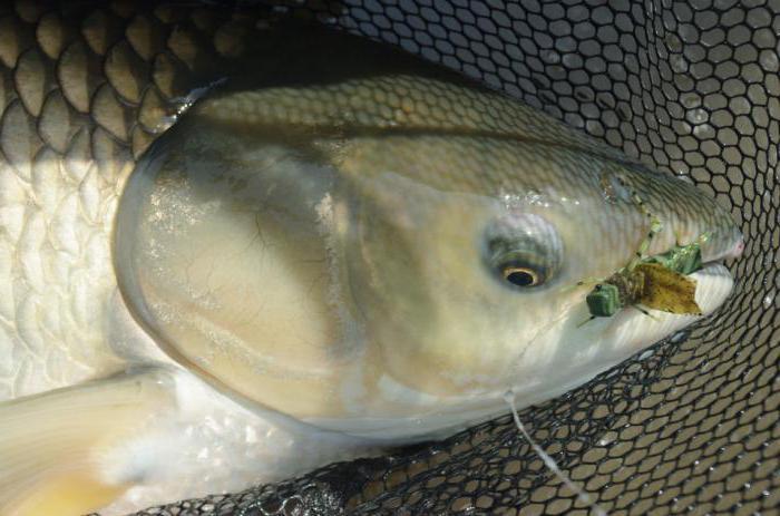 на что ловят рыбу в амуре