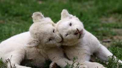 У Чехії народились левенята рідкісного виду: зворушливі фото