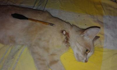 В Черновцах неизвестные из арбалета подстрелили кота (ВИДЕО)