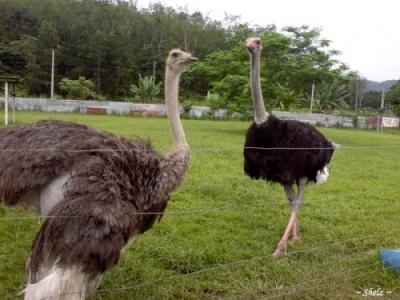 У Чернівецькій області в одному з лісництв з'явилися страуси і фазани