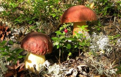"""""""Літніх грибів на Буковині може вже й не бути"""", - лісівники"""