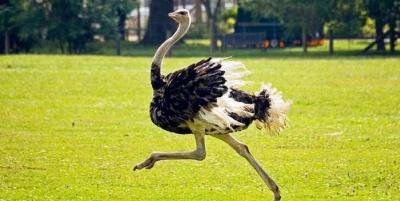 У вольєр на Буковині завезли страусів та фазанів