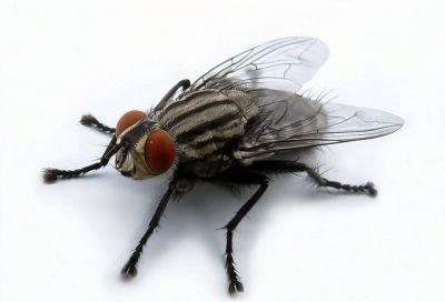 Возбудители опасных болезней. Ученый из Черновцов рассказала, чем опасны обычные мухи