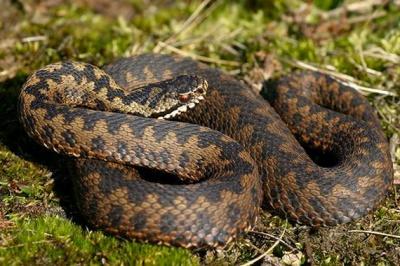 Буковинець потрапив до лікарні через укус змії