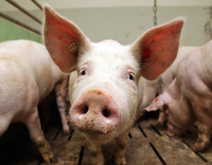 НаЛьвівщині зафіксували спалах африканської чуми свиней